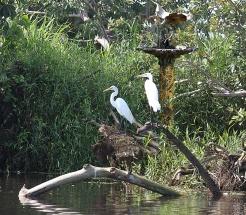 Aquapause Swamp Herons